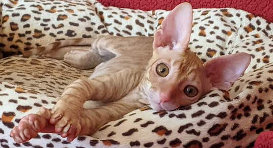red spotted tabby male cornish rex
